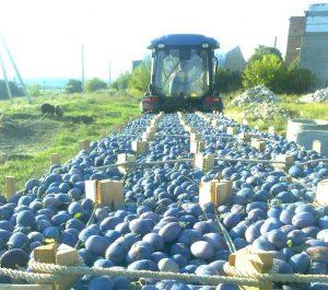 S-a dat start recoltării în masă a prunelor